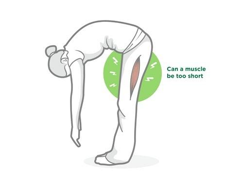Muscleshortening