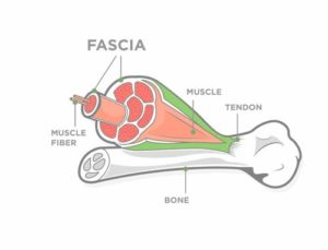 What are fascia